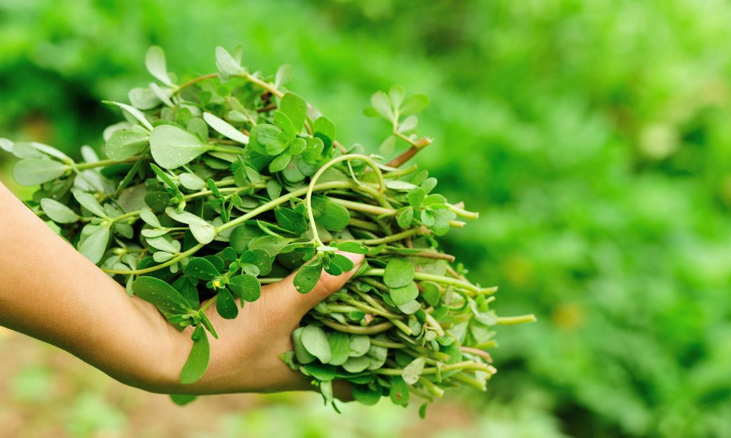 Jedlá burina – portulaka zeleninová